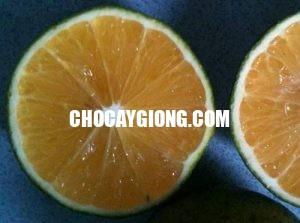quả cam c36