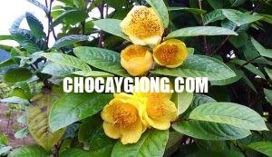trà hoa vàng 3
