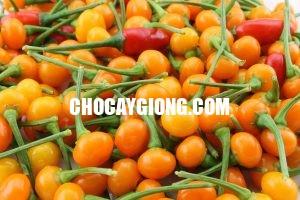 ớt charapita 2