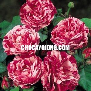 Hoa hồng ngoại Julio rose 2