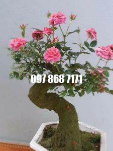hồng bonsai 1