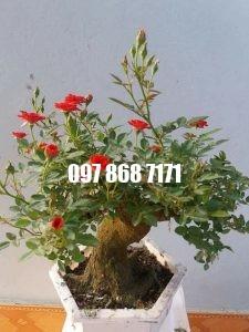 hồng bonsai 4