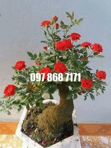 hồng bonsai 5