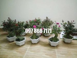 hồng bonsai 6