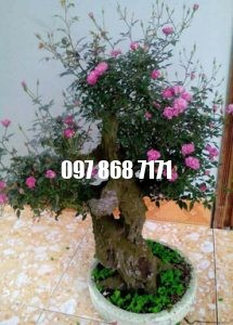 hồng bonsai 7