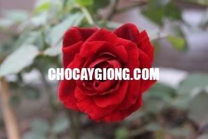 hồng cổ hải phòng 2
