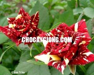 hồng leo cẩm vân 2