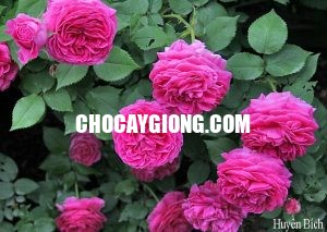hồng leo huyền bích 1 (1)