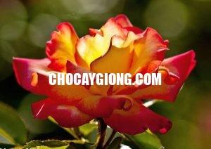 hồng leo nguyệt uyển 1
