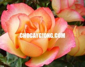 hồng leo nguyệt uyển 2