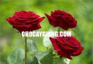 hồng nhung 1