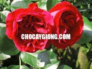 hồng red eden 4
