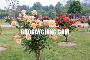 hồng thân gỗ 1