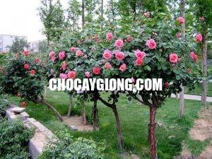 hồng thân gỗ 3