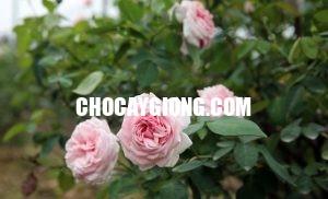 hoa hồng văn khôi 1