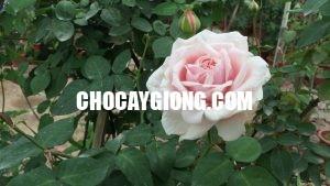 hoa hồng văn khôi 2