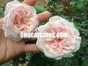 hoa hồng văn khôi 3